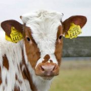 rfid tag cattle tracking